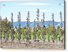 Life On A Tree Farm-foothills View #1 Acrylic Print