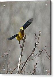 Liftoff-male Evening Grosbeak Acrylic Print