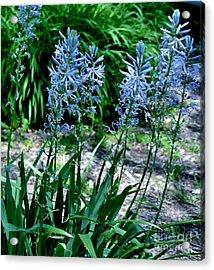 Light Blue Lace Acrylic Print by Marsha Heiken