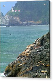 Light House And Sea Lions Acrylic Print by Nick Gustafson