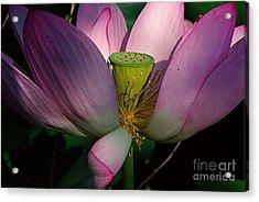 Light On The Lotus Acrylic Print by John S