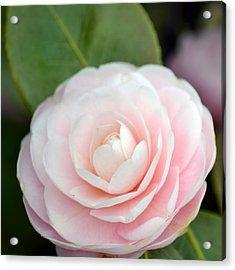 Light Pink Camellia Flower Acrylic Print