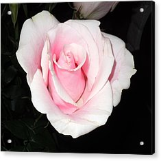 Light Pink Rose Acrylic Print by Karen J Shine