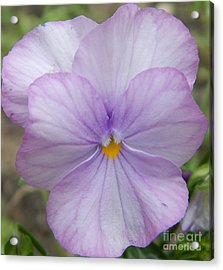 Spurred Anoda - Light Purple Tones Acrylic Print