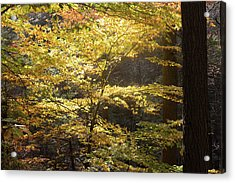 Acrylic Print featuring the photograph Light In The Leaves by Kirkodd Photography Of New England