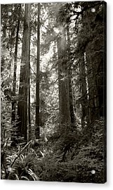 Light Through Redwoods Acrylic Print