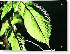 Light Up Leaf Acrylic Print by Jonathan Michael Bowman