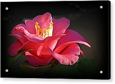 Acrylic Print featuring the photograph Lighted Camellia by AJ Schibig