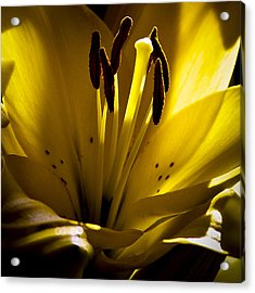 Lighted Lily Acrylic Print by David Patterson