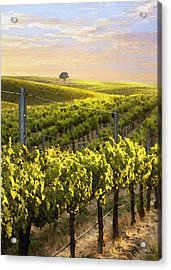 Lighted Vineyard Acrylic Print by Sharon Foster