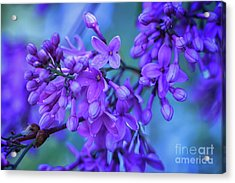 Lilac Blues Acrylic Print