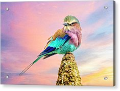 Lilac Breasted Roller At Sunset Acrylic Print