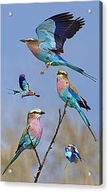 Lilac-breasted Roller Collage Acrylic Print