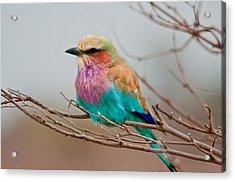 Lilac-breasted Roller Acrylic Print by John Klingel