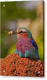 Lilac Breasted Roller Acrylic Print by Paul Scoullar
