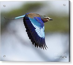 Lilac-breasted Roller-signed Acrylic Print by J L Woody Wooden