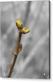 Lilac Bud Season Acrylic Print