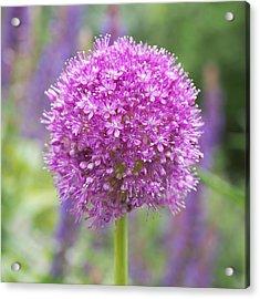 Lilac-pink Allium Acrylic Print by Rona Black