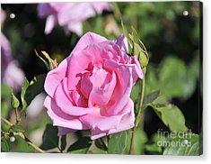 Lilac Rose 2 Acrylic Print by Rudolf Strutz