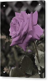 Lilac Rose Acrylic Print by Vijay Sharon Govender