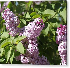Acrylic Print featuring the photograph Lilacs 5544 by Antonio Romero