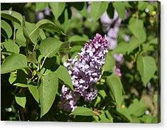 Acrylic Print featuring the photograph Lilacs 5551 by Antonio Romero