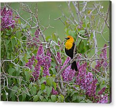 Lilacs And Yellowhead Blackbirds Acrylic Print