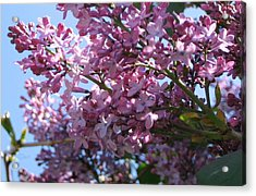 Lilacs In Bloom 2 Acrylic Print by Barbara Yearty