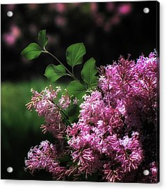 Lilacs In Bloom Acrylic Print