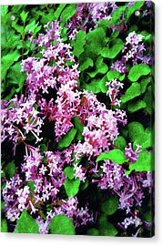 Acrylic Print featuring the painting Lilacs In May by Sandy MacGowan