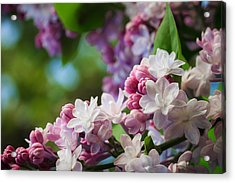 Lilacs Of Spring Acrylic Print