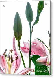 Acrylic Print featuring the photograph Pink Oriental Starfire Lilies by David Perry Lawrence