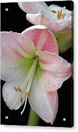 Lilies Acrylic Print by Ginette Thibault