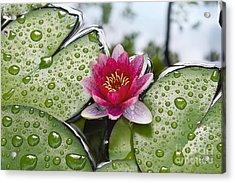Lilies No. 5 Acrylic Print