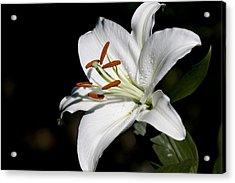 Lilium Candidum Acrylic Print
