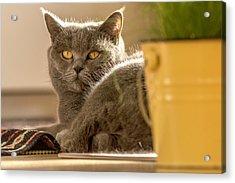 Lilli The Cat Acrylic Print