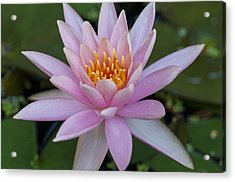 Lilly In Pink Acrylic Print