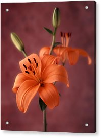 Lily 1 Acrylic Print by Joseph Gerges