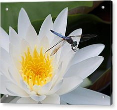 Lily And Dragonfly Acrylic Print