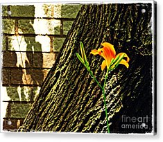 Lily And Shadow Acrylic Print