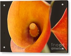 Lily Acrylic Print by Dennis Hammer