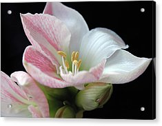 Lily Acrylic Print by Ginette Thibault