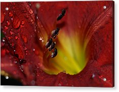 Acrylic Print featuring the photograph Lily by Heidi Poulin