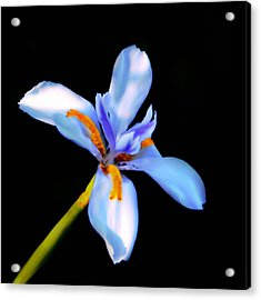 Lily In Blue Acrylic Print by Lyle  Huisken