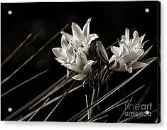 Lily In Monochrome Acrylic Print by Nicholas Burningham