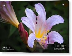 Acrylic Print featuring the photograph Lily In The Rain By Flower Photographer David Perry Lawrence by David Perry Lawrence