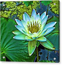 Lily Acrylic Print by Laurie Prentice