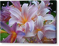 Lily Lavender Closeup Acrylic Print
