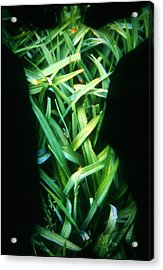 Lily Leaves Acrylic Print