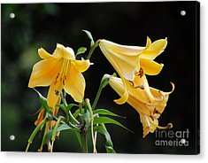 Lily Lily Where Art Thou Lily Acrylic Print